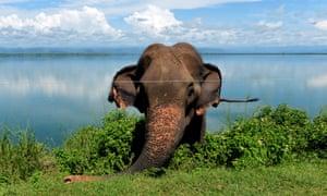 An elephant grazes near an electric fence in Udawalawe wildlife sanctuary.