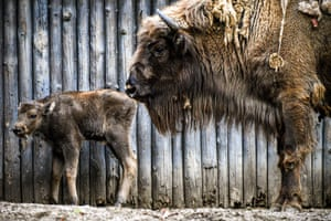 A newborn wisent (or European bison) with its mother in Duisburg, Germany