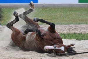 Irish horse Anthony Van Dyck enjoying a sand roll after galloping at Werribee Racecourse on November 2, 2020.