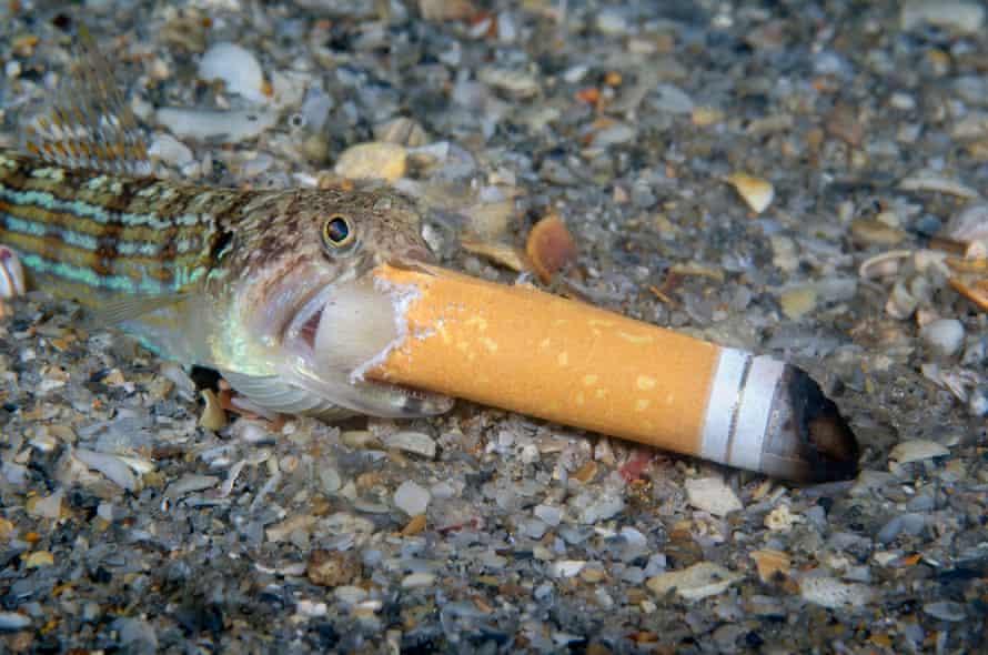 A lizardfish attempts to eat a cigarette end.