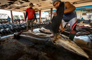 A large blue shark is finning in Indonesia