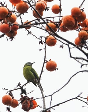 Bird rests on a persimmon tree in Guiyang, China.