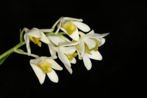 Among the new orchids discovered and published in 2015 is Dendrobium cynthiae, named for its grower in the US, who acquired it from a dealer. The pretty white flowers have a green lip. The wild origin of the species is unknown, but believed to be New Guinea.