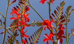 Crocosmia 'Lucifer': a wonderful cut flower.