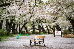 A bench stands empty underneath cherry blossoms in a closed zone of Inokashira Park in Tokyo