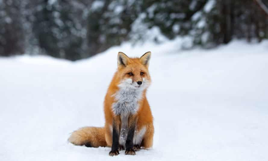 A curious fox in the snow in Algonquin.