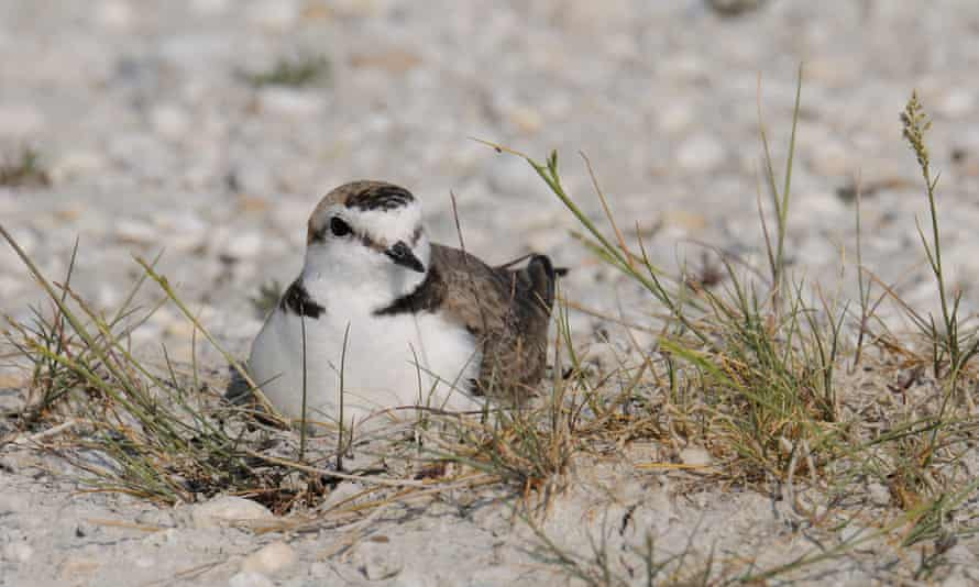 The Kentish plover is smaller and paler than its commoner cousin, the ringed plover, and has a distinctive half-collar.