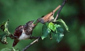 European common cuckoo chick (Cuculus canorus)