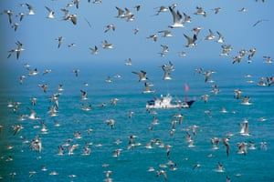 Crested terns fly over Jiushan island nature reserve in east China's Zhejiang province. This week Chinese and US researchers and volunteers banded birds at the reserve to learn about the migration pattern of the world's most endangered tern species.