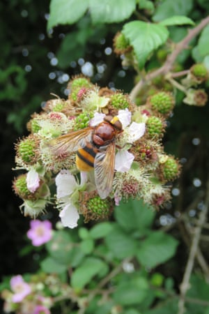 A hornet hoverfly (Volucella zonaria) on bramble flowers. This large species (15-20mm long) colonised Britain in the 1940s and has now spread throughout the south, apparently as a result of climate change