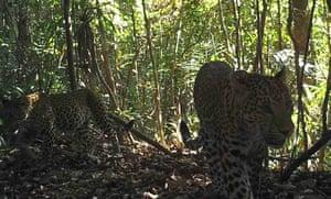 Leopards filmed on camera traps in the hill forests of Karen state, Myanmar