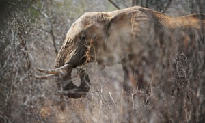 An elephant eats twigs from a tree amid dry brush at the Tsavo West national park in southern Kenya.