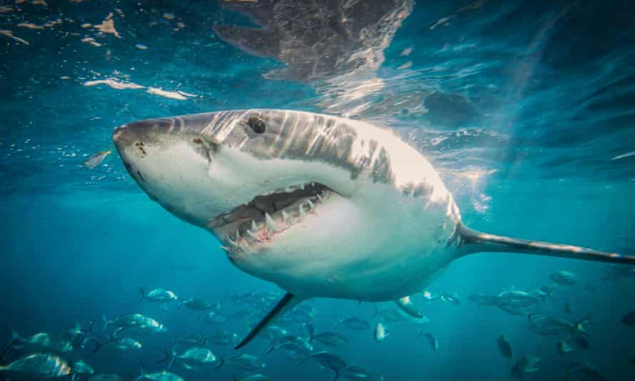 A great white shark just off South Australia