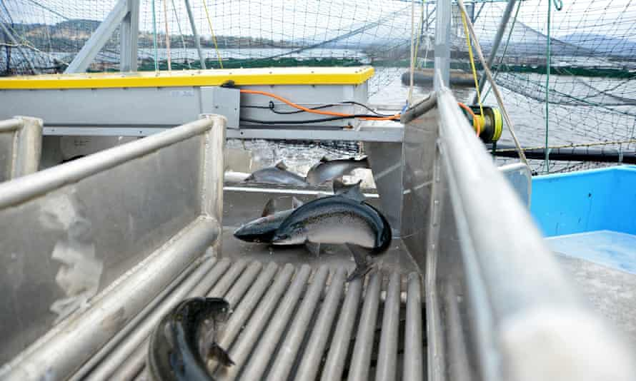 Salmon return to a pen after passing through a shower of fresh water at Huon Aquaculture Co's salmon farm at Hideaway Bay, Tasmania