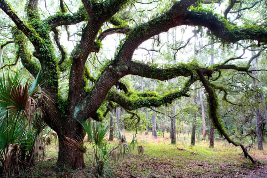 A live oak covered with ferns on Cumberland Island, Georgia