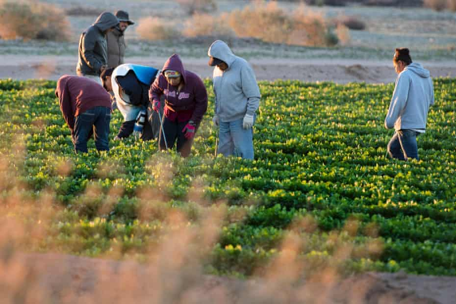 Agricultural workers tend a field in the early morning hours.