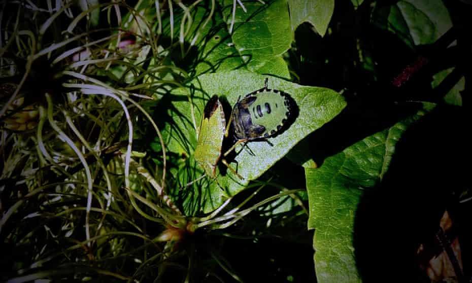 Common green shield bugs