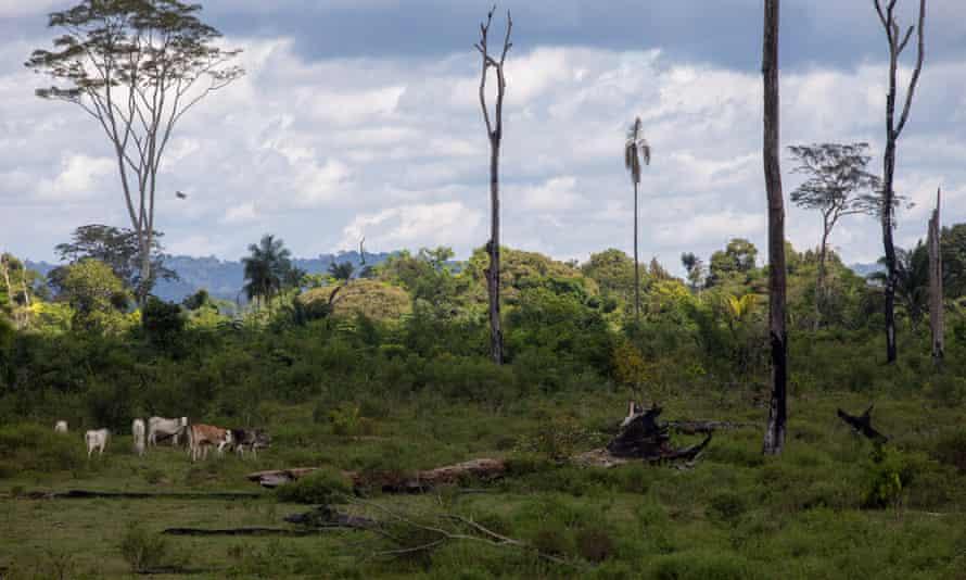 Cattle on the Lagoa do Triunfo farm