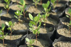 Mangrove seedlings at the Seacology-Sudeesa nursery, in Pambala
