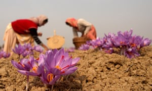 Women collect saffron flowers