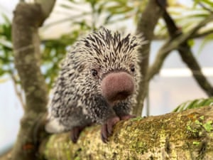 Runner-up, Heart and Minds: Nifty nose, by Samantha Allworthy at Longleat.Species: prehensile tailed porcupines