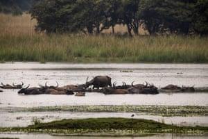 Wild buffalo cool off at the Pobitora wildlife sanctuary on the outskirts of Gauhati, India.