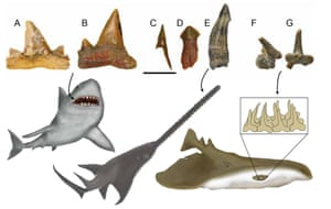 Fossil teeth of chondrichthyes and reconstructions of the animals from which they came: shark, sawfish shark and electric ray.
