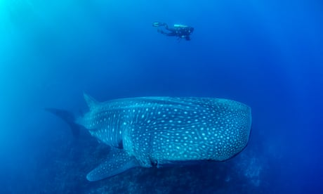 The ocean's largest mystery – why has no one seen a whale shark give birth?