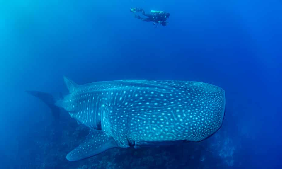 A diver is dwarfed by a 13 m long female whale shark
