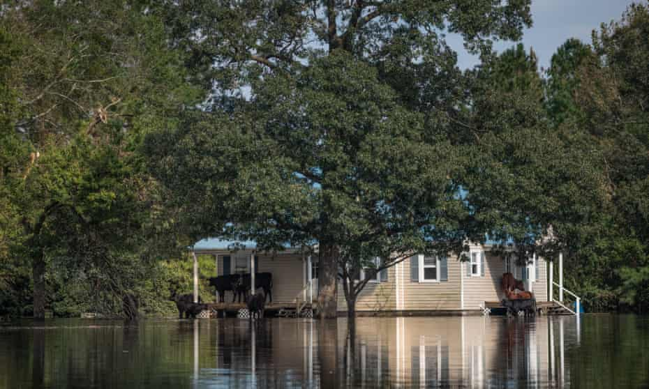 Cows take refuge from floodwaters on a porch.
