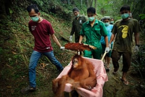 Saving Orangutans: Asha, a 20-year-old female orangutan, is transported under sedation from her enclosure to a medical check in Sibolangit. She was rescued in 2017 in critical condition after being beaten, and had a broken right hand, fractured hip and gangrene of the left hand that left her thumb non-functional