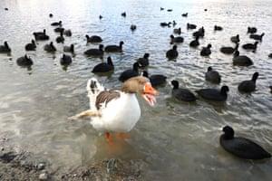 Ankara, Turkey: Coots and a goose looking for food at Lake Eymir