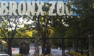 A tiger at the zoo has tested positive for the new coronavirus in what's believed to be the first infection in an animal in the US and the first known in a tiger anywhere.
