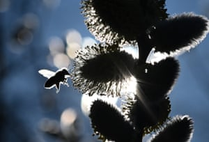 A bee approaching the flowers of a willow in Otzberg, Germany. Willow catkins are a protected species and one of the first sources of food for insects in early spring