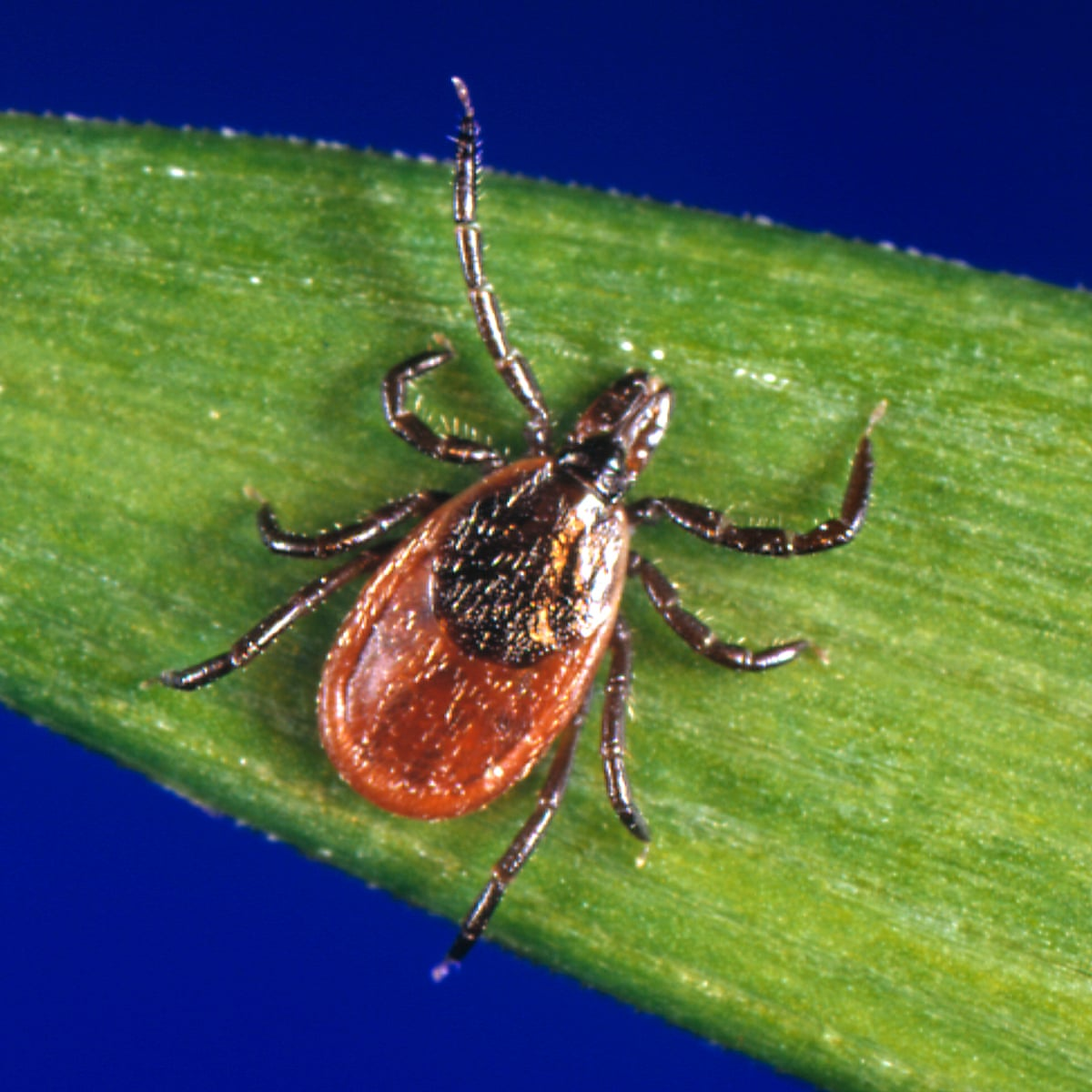 What should you do if you're bitten by a tick? | Health & wellbeing | The  Guardian