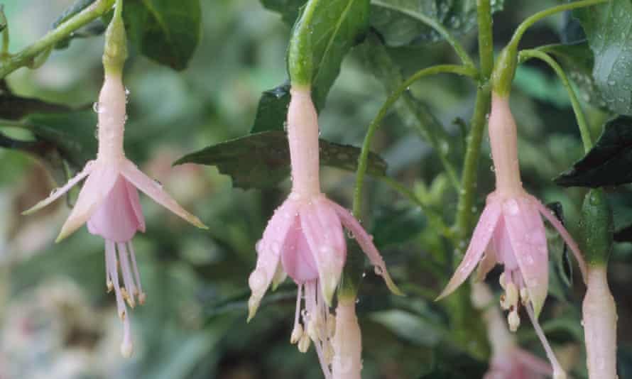 Fuchsia 'Whiteknights Pearl'