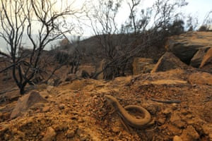 A lizard emerges after a wildfire, nicknamed the Cave Fire, erupted in the hills of Santa Barbara, California.