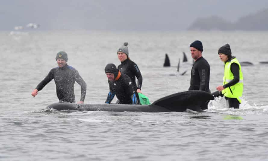 Rescuers work to save a pod of whales stranded on a sandbar in Macquarie Harbour, Tasmania