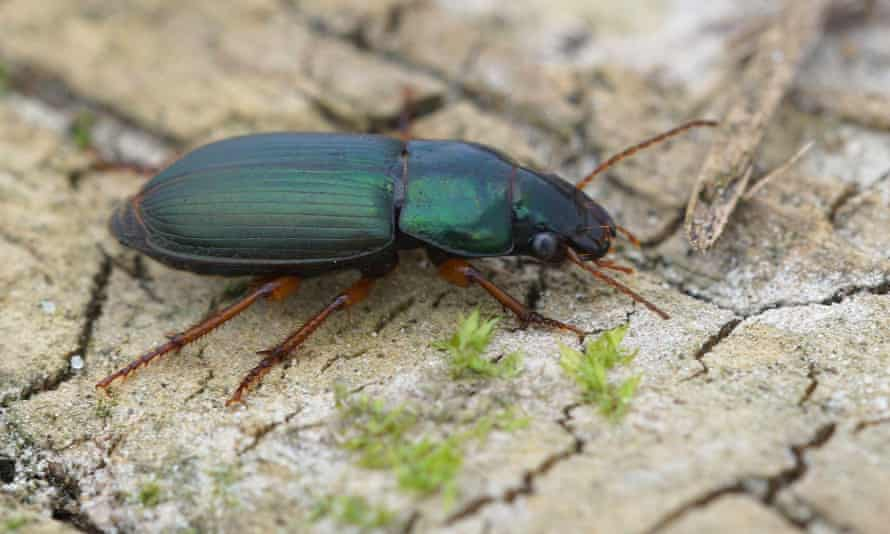 A green ground beetle close up (Harpalus affinis).