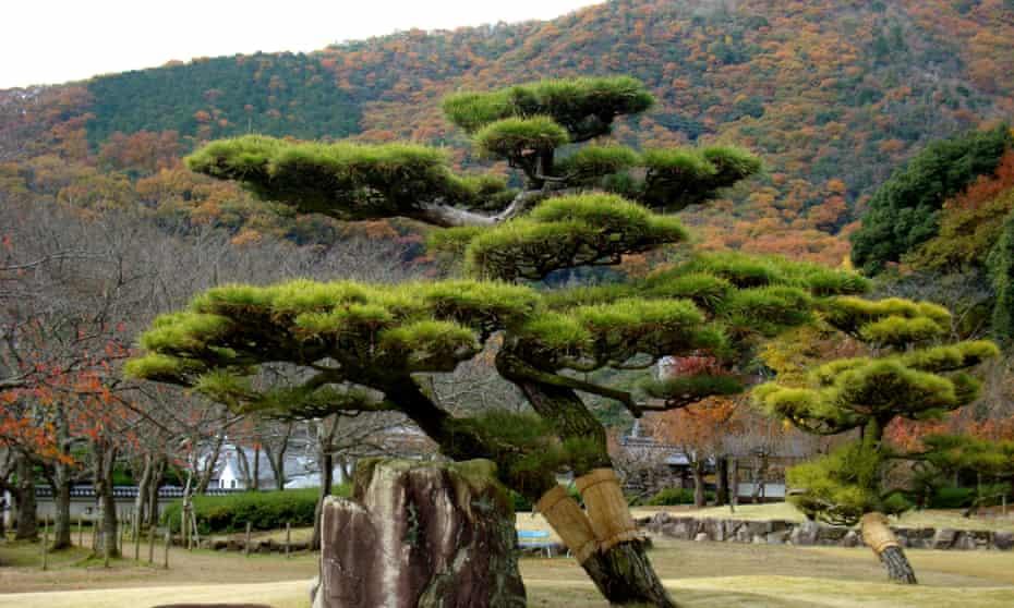 The black pine, Tatsuno, Japan.