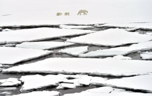 Polar bears on an ice floe in the Arctic Ocean