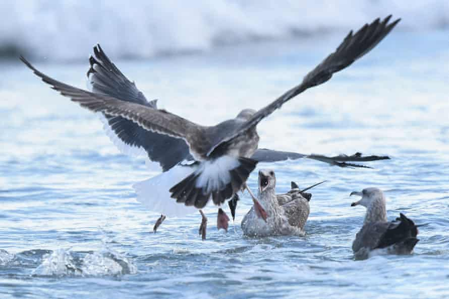 Birds compete to eat a dead fish in the surf after an oil spill in Huntington Beach, California on Monday.