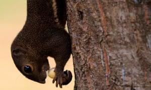 Plantain Squirrel at Labrador Nature Reserve