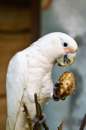 Wild cockatoos have been observed using three types of tools as 'cutlery' to extract seeds from tropical fruit. Researchers made the discovery while studying Goffin's cockatoos on the Tanimbar Islands in Indonesia