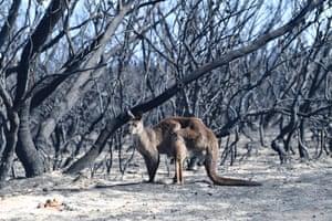 Kangaroo seen in burned out bushland