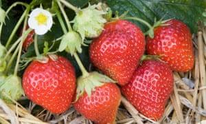 Strawberry 'Mara des Bois'.