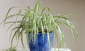 Breath easier: the helpful spider plant.