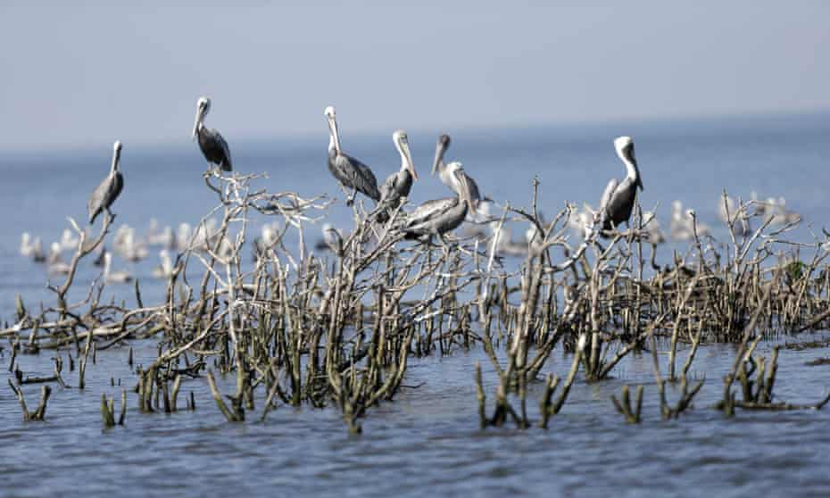 Brown pelicans on dead mangroves on Cat Island, a former nesting ground that has mostly eroded, Plaquemines Parish, Louisiana.