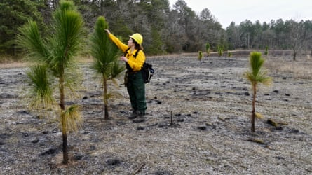 At Plum Creek Preserve in Maryland, teams have introduced longleaf pine.