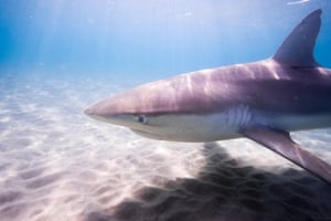 Dusky shark (Carcharhinus obscurus) – currently found off the coasts of Spain and Portugal, and off the Atlantic coast of Africa, North America, Caribbean, South America, Indian Ocean and Pacific Oceans.